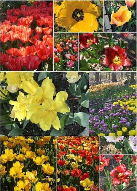 Long Tulip Collage