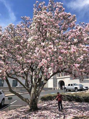 Flowering Japanese Magnolia Tree