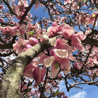 Japanese Magnolia Blossoms