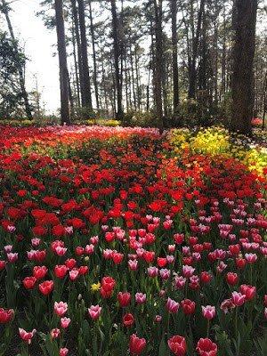 150,000 Tulips at Garvan Gardens