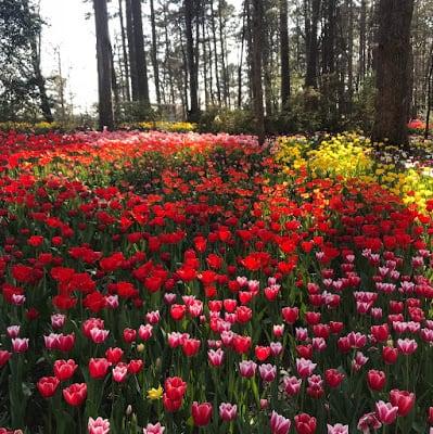 Tulips at Garvan Gardens