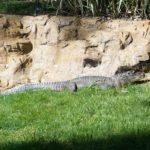 Alligator at Frank Buck Zoo
