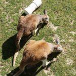 Red Kangaroos at Frank Buck Zoo