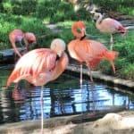 Flamingos at Frank Buck Zoo