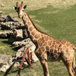Giraffe at Frank Buck Zoo