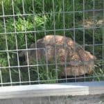 Giant Tortoise at Frank Buck Zoo