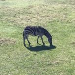 Zebra at Frank Buck Zoo