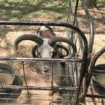 Curly Horn Goat at Sharkarosa