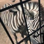 Zebra at Sharkarosa Wildlife Ranch