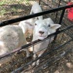 Sharkarosa Wildlife Ranch Lamb