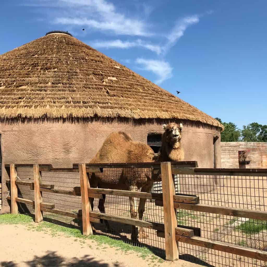 Camel at Sedgwick County Zoo