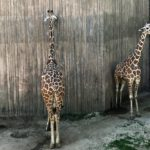 Giraffe Licking Wall at Sedgwick County Zoo