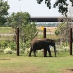 Elephant in Front of Highway at Sedgwick County Zoo
