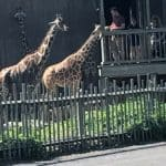 Two Giraffes at Sedgwick County Zoo