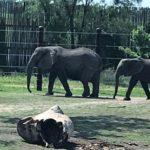 Elephants at Sedgwick County Zoo